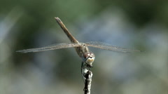Dragonfly (Odonata) Stock Footage