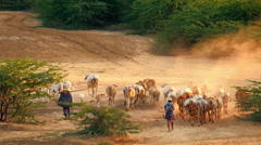 Burmese herders leads cattle herd through amazing sunset landscape - stock footage