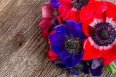 blue and red anemone flowers - stock photo