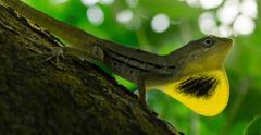 Lizard Neck Dewlap - stock photo