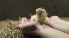 Newborn chick sitting in arms slow motion Stock Footage