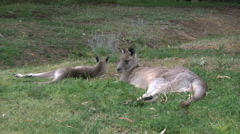 Australia kangaroos lying down at Halls Gap Stock Footage