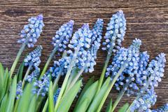 Muscari flowers on table Stock Photos