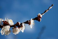 Stock Photo of Apricot Tree Flowers