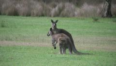 Stock Video Footage of Australia kangaroos together at Halls Gap hopping