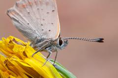 macro photography of lycaenidae on common dandelion - stock photo