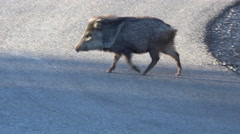 Sedona Arizona Peccary Javelina pig cross road 4K 023 Stock Footage