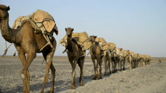 Camel caravans carrying salt through the desert in the Danakil Depression - stock footage