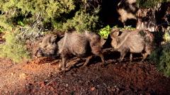 Sedona Arizona Peccary Javelina pig in wild area 4K 024 Stock Footage