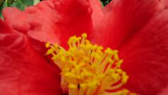 Camellia in park Stock Footage