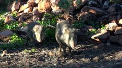 Sedona Arizona Peccary Javelina pig standing wild 4K 023 Stock Footage