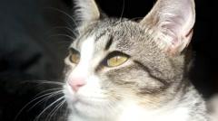 Muzzle gray tabby cat Stock Footage