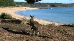 Australia Murramarang beach kangaroo looks up and turns face on Stock Footage