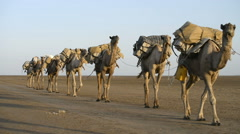 Stock Video Footage of Camel caravans carrying salt through the desert in the Danakil Depression