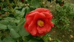Camellia zoom out Stock Footage