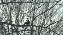 A Black and White Bird Keeps Warm During the Winter Stock Footage