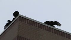 A Black Vulture Flies Off of an Office Building Stock Footage