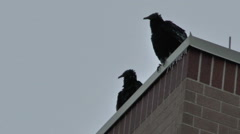 Black Vultures Try to Shake off the Cold Air Stock Footage
