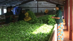 Sri Lankan women are engaged in the oxidation and drying tea leaves - stock footage