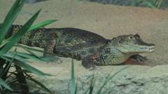 Small crocodile in aquarium - stock footage