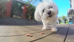 A white maltese cross dog eating treats off the floor Stock Footage