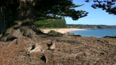 Australia Murramarang kangaroo and scenic beach Stock Footage