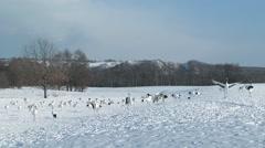 Japanese Cranes, Hokkaido, Japan Stock Footage