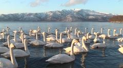 Swans in Hokkaido, Japan Stock Footage