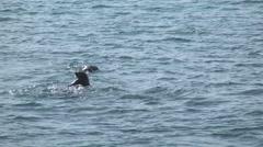 Sea Otters, Hokkaido, Japan Stock Footage