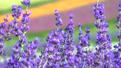 Lavender field, Hokkaido, Japan Stock Footage