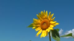 Sunflower closeup Stock Footage