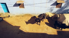 Herd of stray cows on an alley, Rajasthan, India Stock Footage