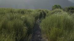 Rooibos tea plants on blind horizon Stock Footage