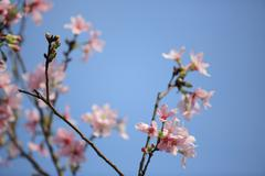 Early spring cherry blossom with soft - stock photo