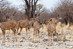 Stock Photo of herd of Kudu in african savanna