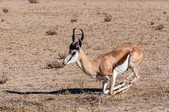 Springbok Antidorcas marsupialis in Kgalagadi Stock Photos