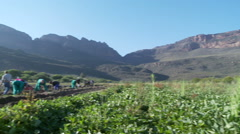 Sweet potato harvesting in Western Cape South Africa Stock Footage