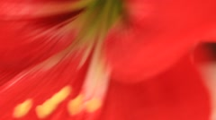 Red lily bloom in the wind Stock Footage