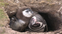 Penguins in a cave, Land of Fire Stock Footage