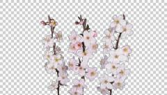 Time-lapse of blooming apricot tree branch, 4K Stock Footage