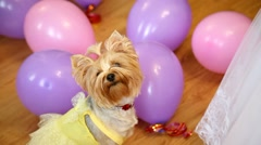 Yorkshire Terrier dog girl dressed in funny yellow dress looks at young bride Stock Footage