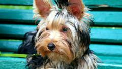 Portrait of Yorkshire Terrier puppy, 5 months old. small dog Stock Footage