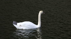 White swan floating in the river Stock Footage