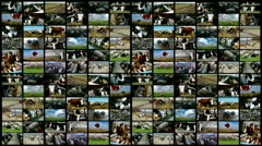 Cattle breeding-split screen - stock footage