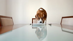 Dog waiting for a dinner on the served table Stock Footage