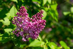 Stock Photo of purple lilac on color blurred background