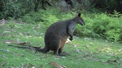 Australia Yarra Ranges Wallaby looks down and grazes Stock Footage