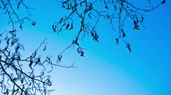 Empty carob tree branches in winter on clear day Stock Footage