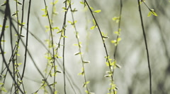 Willow Branches Swinging in the Wind on a Bright Day Stock Footage