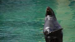 Sea Lion Clapping - 25p - stock footage